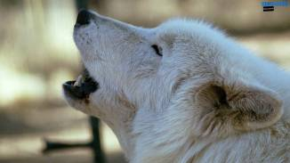 white-wolf-howling-by-dave-johnson-wallpaper-1600x900
