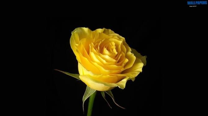 yellow-rose-on-black-background-wallpaper-1600x900